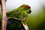 "Red crowned Parakeet or kakariki, eating flax, on Tiritiri Matangi island, New Zealand. It's listed as ""vulnerable"" by the World Conservation Union. They can live everywhere from tropical to subantarctic climates."