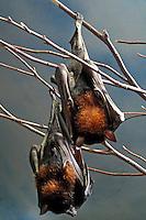 Animais. Mamiferos. Morcegos. SP. Foto de Juca Martins.