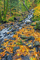 ORCG_D233 - USA, Oregon, Columbia River Gorge National Scenic Area, Starvation Creek State Park, Starvation Creek with autumn-colored vine maple, fallen bigleaf maple leaves, rocks and moss.
