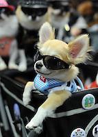 Yamato wears sunglasses at the Osaka Pet Expo fashion show.<br /> 25-Sept-11, Japan.<br /> <br /> Photo by Richard Joness