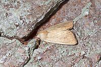 Fen Wainscott - Arenostola phragmitidis