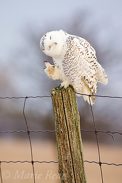 Snowy Owl (Nyctea scandiaca), scratching while perched on fencepost, Amherst Island, Ontario, Canada,