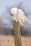 Snowy Owl (Nyctea scandiaca), scratching while perched on fencepost, Amherst Island, Ontario, Canada. WILD BIRD: not baited or called in.
