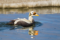 Male spectacled eider swims in a small tundra pond in arctic Alaska.