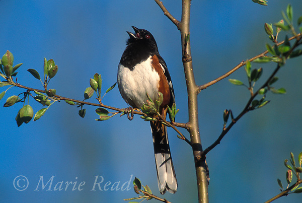Eastern Towhee (formerly Rufous-sided Towhee) (Pipilo erythophthalmus) male singing in spring, New York, USA<br /> Slide # B164-927
