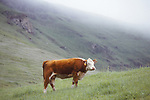 Hereford cattle, Mission Peak, Santa Clara County