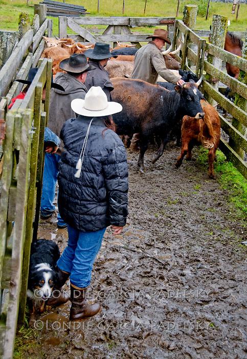 Chris checking cattle at a cattle roundup at the  Pasagshak Ranch on Kodiak Island,  Southwest Alaska