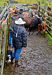 Chris checking cattle at a cattle roundup at the  Pasagshak Ranch on Kodiak Island,  Southwest Alaska