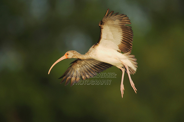 White Ibis (Eudocimus albus), immature in flight, Fennessey Ranch, Refugio, Coastal Bend, Texas, USA