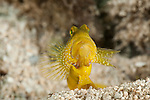 Banded shrimp goby (Cryptocentrus cinctus) yellow morph