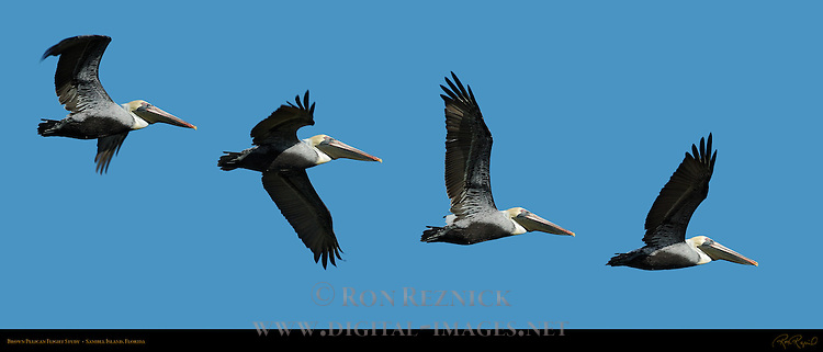Brown Pelican Flight Study, Eastern Brown Pelican, Sanibel Island, Florida, Composite Image