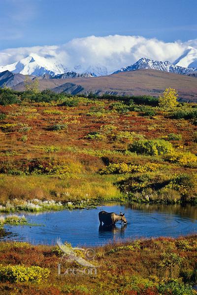 Cow moose with Alaska Range in background. Denali National Park, Alaska.