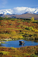 Cow moose with Alaska Range in background. Denali National Park, Alaska.