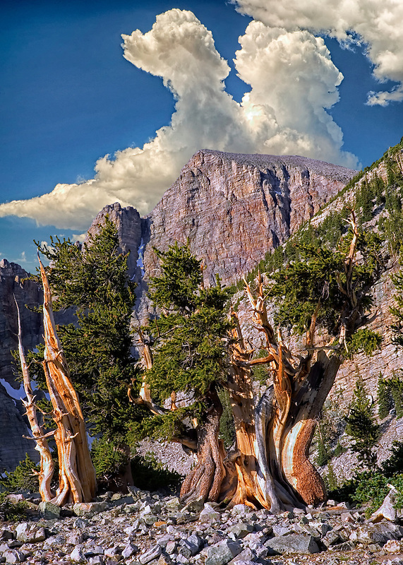 Bristlecone pines and Wheeler Peak. Great Basin National Park, Nevada. Sky has been added to this image