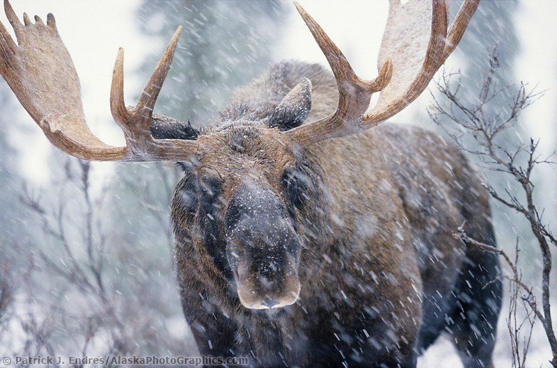 Bull moose stands in a boreal forest during a winter snowstorm. Denali National Park, Alaska.