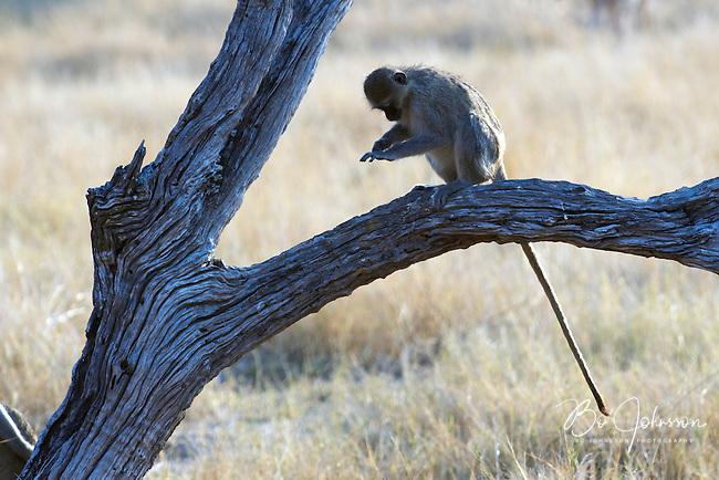Vervet monkey (cercopithecus aethiops) enjoying the soft evening light.<br /> Moremi, Botswana.<br /> September 2007.