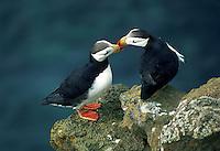 Horned Puffins rubbing beaks, St. Paul Island, Pribilof Islands, Alaska
