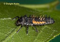 1C02-523z  Asian Ladybug Larva, Harmonia axyridis