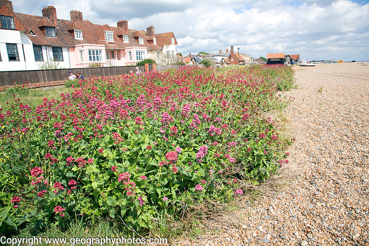 Valerian in flower on the shingle beach, Aldeburgh, Suffolk, England