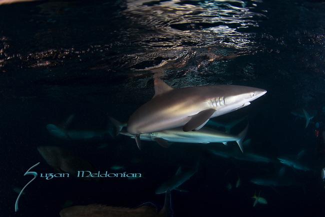 Carcharhinus falciformis, Cuba Underwater, Jardines de la Reina, Protected Marine park underwater, Sharks, Silke Sharks, Under Sunset and sharks