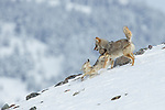 Coyote (Canis latrans) pair in dominance display in winter, Lamar Valley, Yellowstone National Park, Wyoming