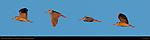 Black-crowned Night Heron, Sunset Flight Study, Sepulveda Wildlife Refuge, Southern California