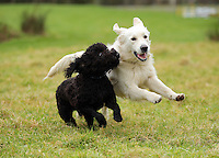 FAO JANET TOMLINSON, DAILY MAIL PICTURE DESK<br /> Pictured: A pair of dogs run in one of the fields Monday 14 November 2016<br /> Re: The Dog House in the village of Talog, Carmarthenshire, Wales, UK
