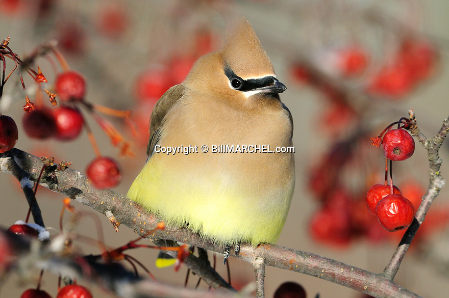 00165-013.02 Cedar Waxwing pauses while feeding on crab apples.  Landscape, red splendor, food, survive, fruit.