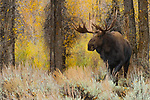 A bull moose walks through sage with a colorful backdrop of cottonwoods and willows at their peak of autumn brilliance in Grand Teton National Park.