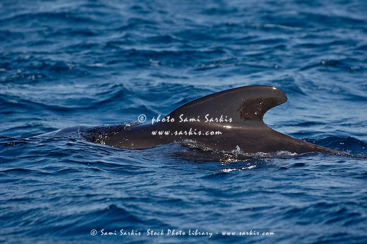 Pilot whale (globicephala melas) emerging from the sea, Tarifa, Andalusia, Spain.
