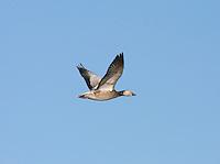 Snow Goose - Chen caerulescens - immature in flight