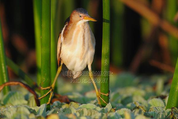 Least Bittern (Ixobrychus exilis), adult in reeds, Fennessey Ranch, Refugio, Coastal Bend, Texas, USA
