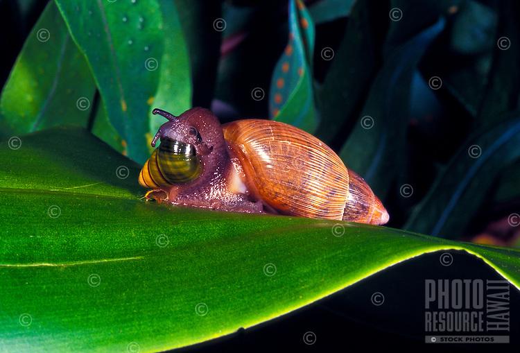 Predatory alien snail carnivorous euglandina rosea attacking a native Hawaiian anchatinella vulpina snail