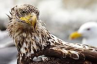 A juvenile bald eagle endures the raucous company of sea gulls as it searches for food on the beach near Ninilchik, Alaska.