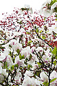 Magnolia in flower (cultivar unknown), mid April.