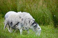 Traditional Herdwick sheep awaiting shearing and grazing on grass at Langdale in the Lake District National Park, Cumbria, UK