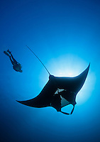 QT2149-D. Manta Ray (Manta birostris) and scuba diver (model released). Baja, Mexico, Pacific Ocean.<br /> Photo Copyright &copy; Brandon Cole. All rights reserved worldwide.  www.brandoncole.com