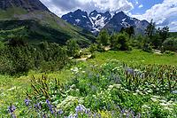 France, Hautes-Alpes (05), Villar-d'Arène, jardin alpin du Lautaret, prairie à polémoines et rumex, au loin la Meije