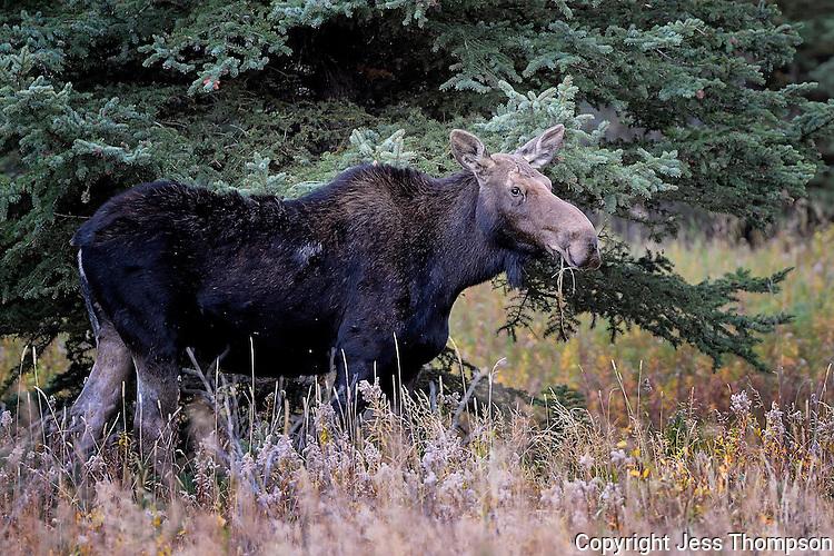 Moose Cow, Grand Tetons National Park, Wyoming