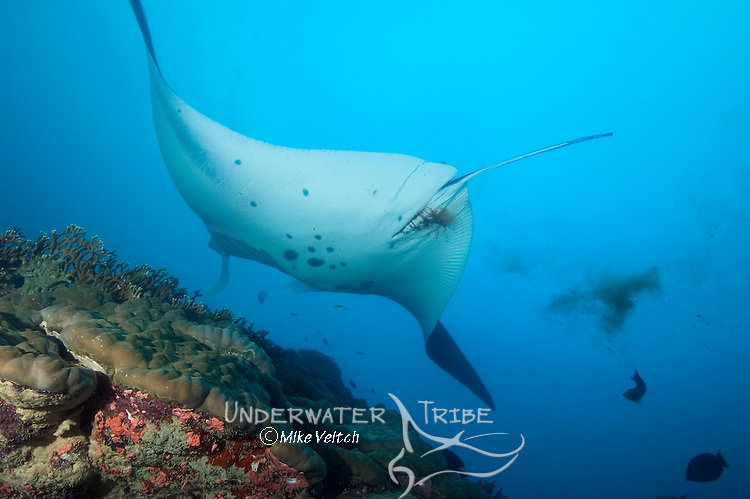 Manta Ray, Manta Birostris, defecates whilst hovering over a cleaning station, Goofnuw Channel, Valley of the Rays, Yap, Micronesia, Pacific Ocean