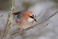 Eurasian Jay (Garrulus glandarius), adult perched, Zug, Switzerland, December 2007