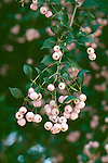 17152-CS Lilly Pilly Tree, fruiting branch, Acmena smithii (ie Eugenia smithii), edible, in March at Huntington Gardens, San Marino CA USA