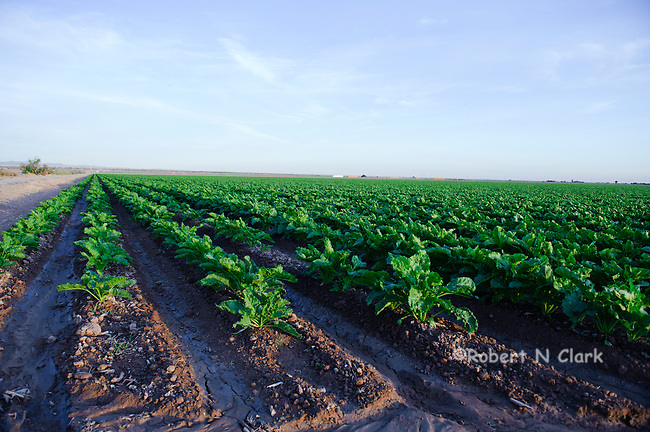 Surgar Beet fields in the Imperial Valley, CA