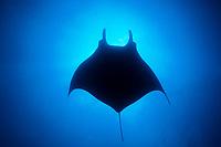 silhouette of Pacific manta ray, Manta birostris, San Benedicto, Revillagigedos Islands (Socorro Islands), Mexico, Pacific Ocean Mexico, Pacific Ocean