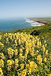 California wildflower travel: Yellow bush lupine at Point Reyes.Photo copyright Lee Foster.  Photo # cawild102346