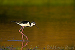 Black-necked Stilt (Himantopus mexicanus), Orange County, California, USA