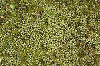 Punktiertes Wurzelsternmoos, Wurzel-Sternmoos, Rhizomnium punctatum,  Mnium punctatum, dotted thyme-moss, rhizomnium moss