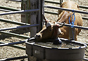 Roping calf with it's head through the pen bars drinking at Kitsap County Rodeo and Stampede in Bremerton, WA.