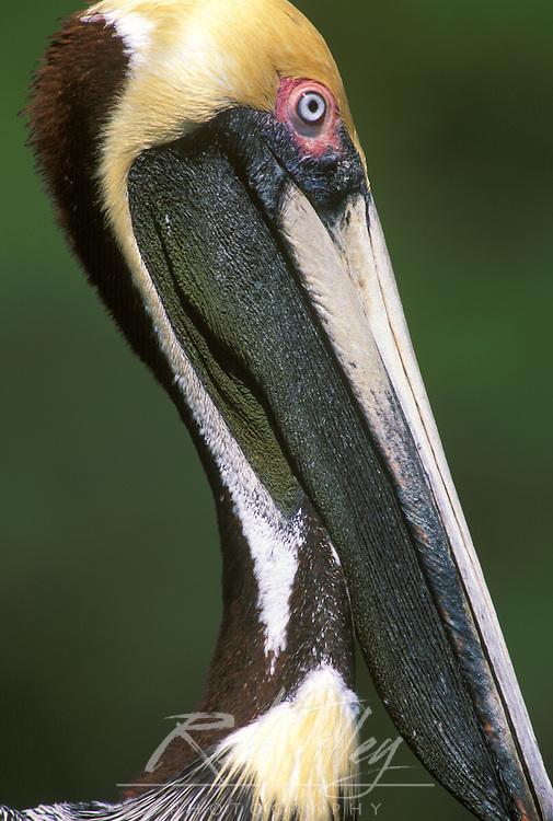 Brown Pellican, Everglades NP, Florida, USA