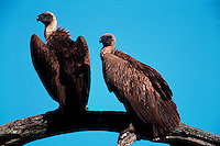 A pair of African white-backed vultures (Gyps africanus). Tanzania.